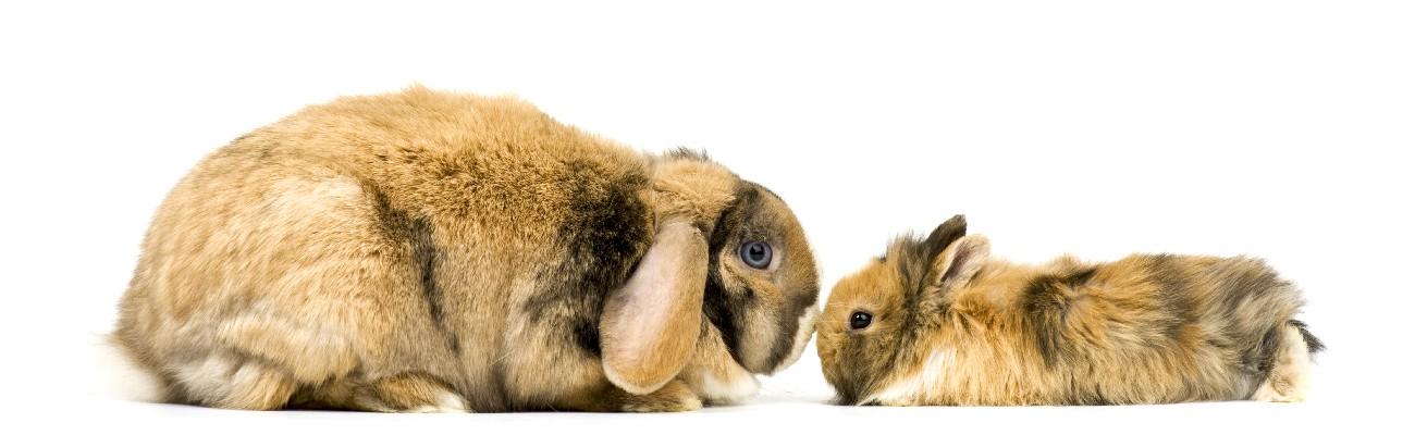Senior Kaninchen